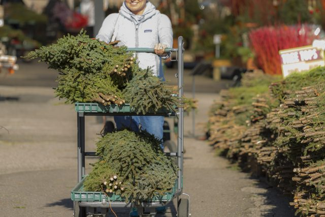 Customer with Cart of Spruce Tips