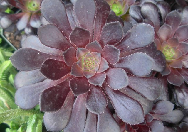 desert plant succulent