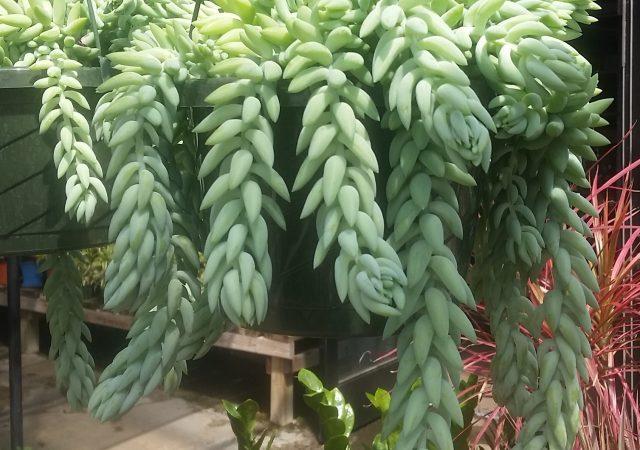Sedum morganianum Donkey Tail hanging basket succulent