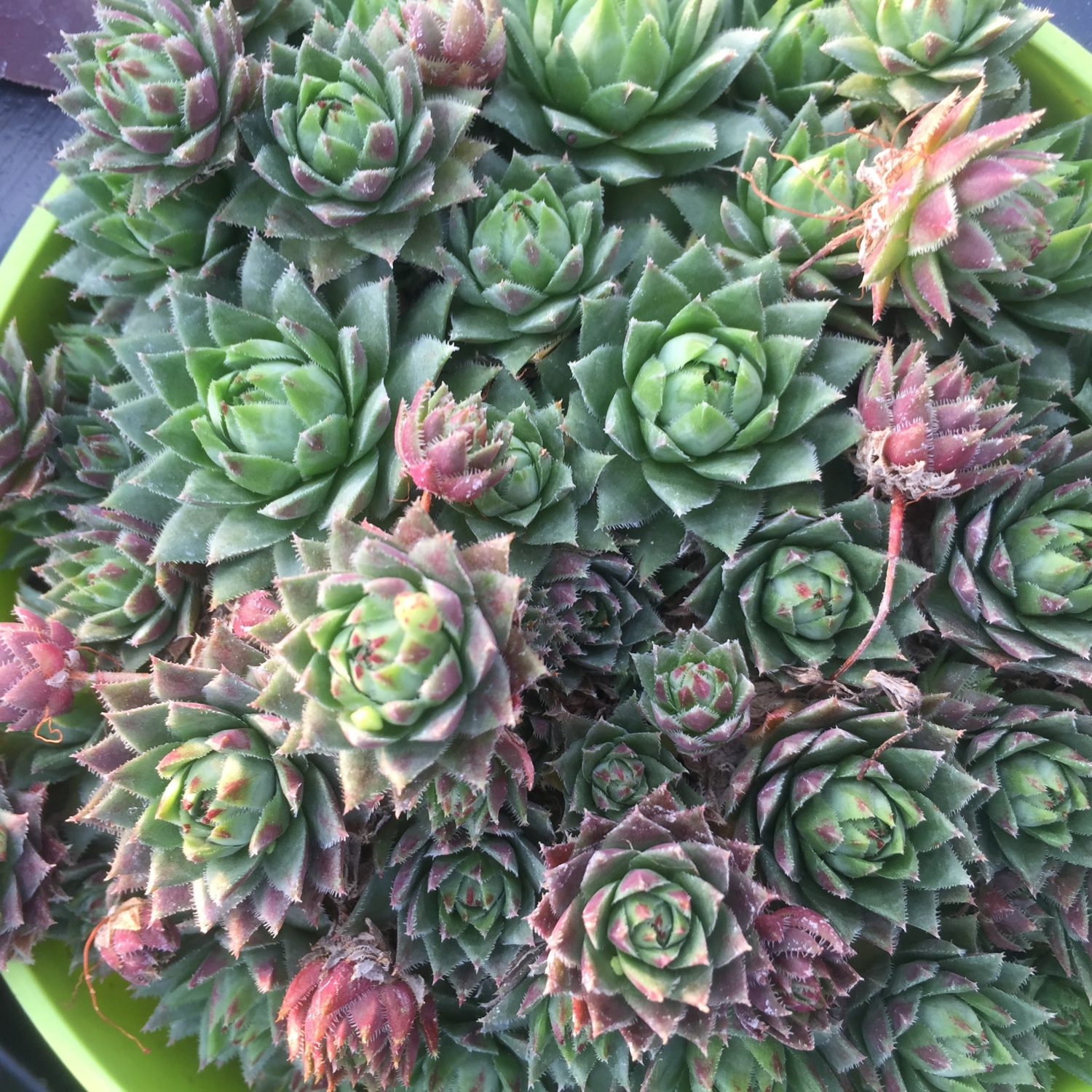 Sempervivum Hens and Chicks succulent