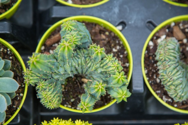 Euphorbia lacteal Coral Cactus succulent