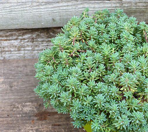 Stonecrop, Sedum hispanicum, Blue Carpet, succulent