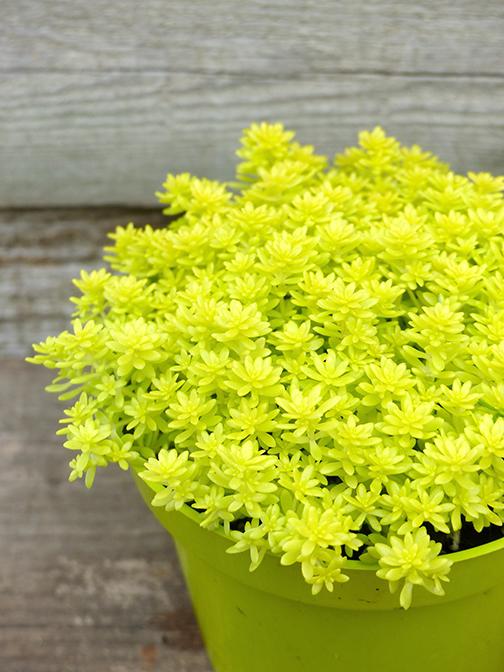 stonecrop, tokyo sun, sedum japonicum, succulent