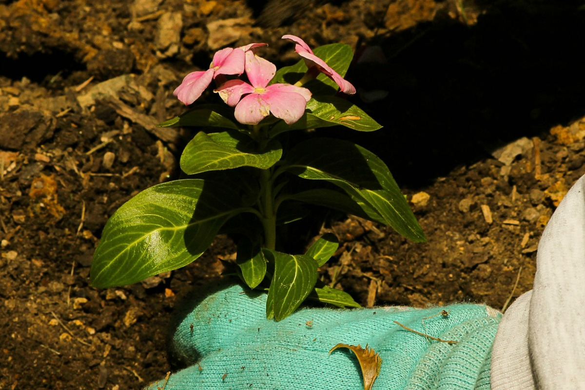 mulch garden vinca
