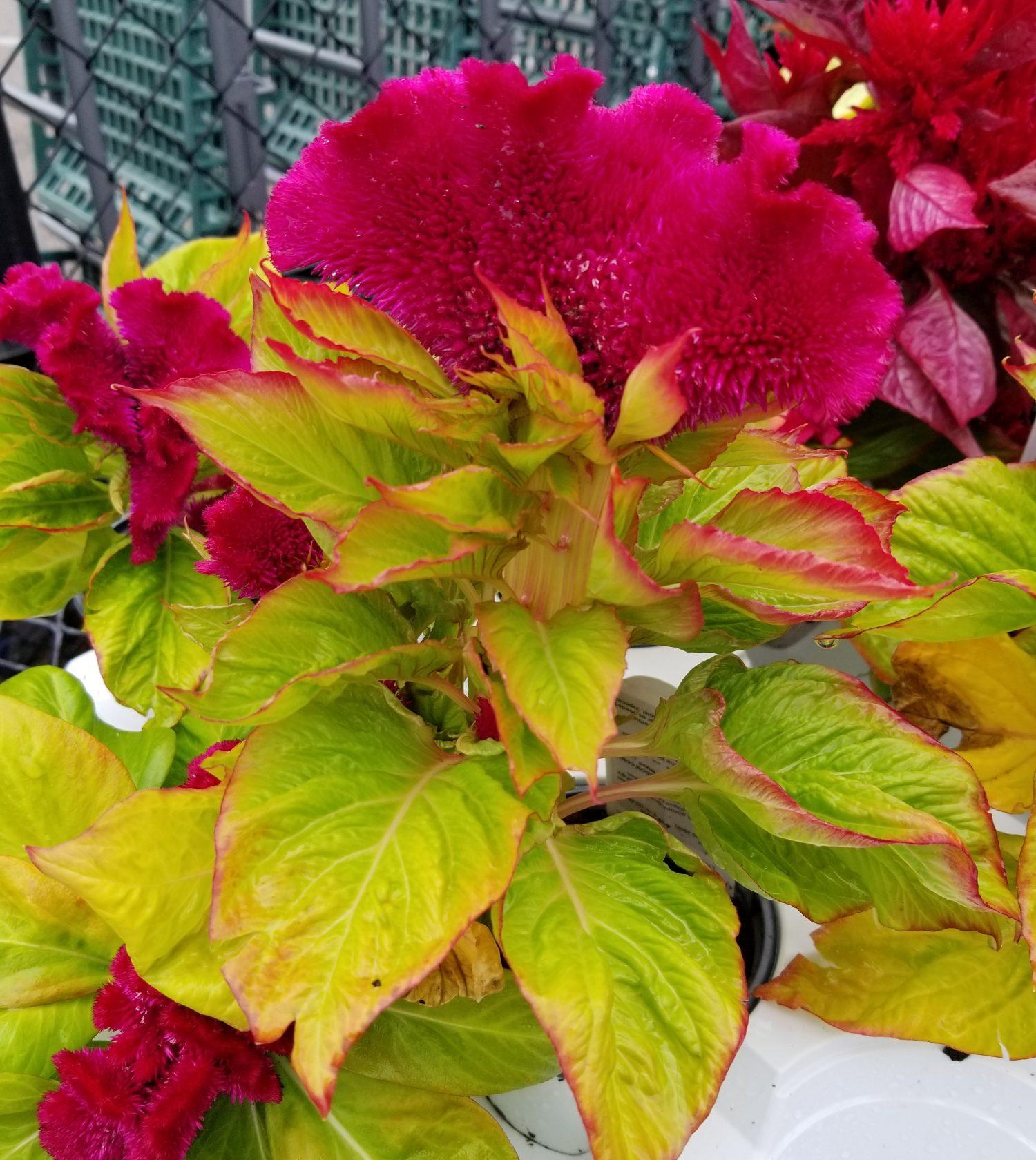 Celosia Plant