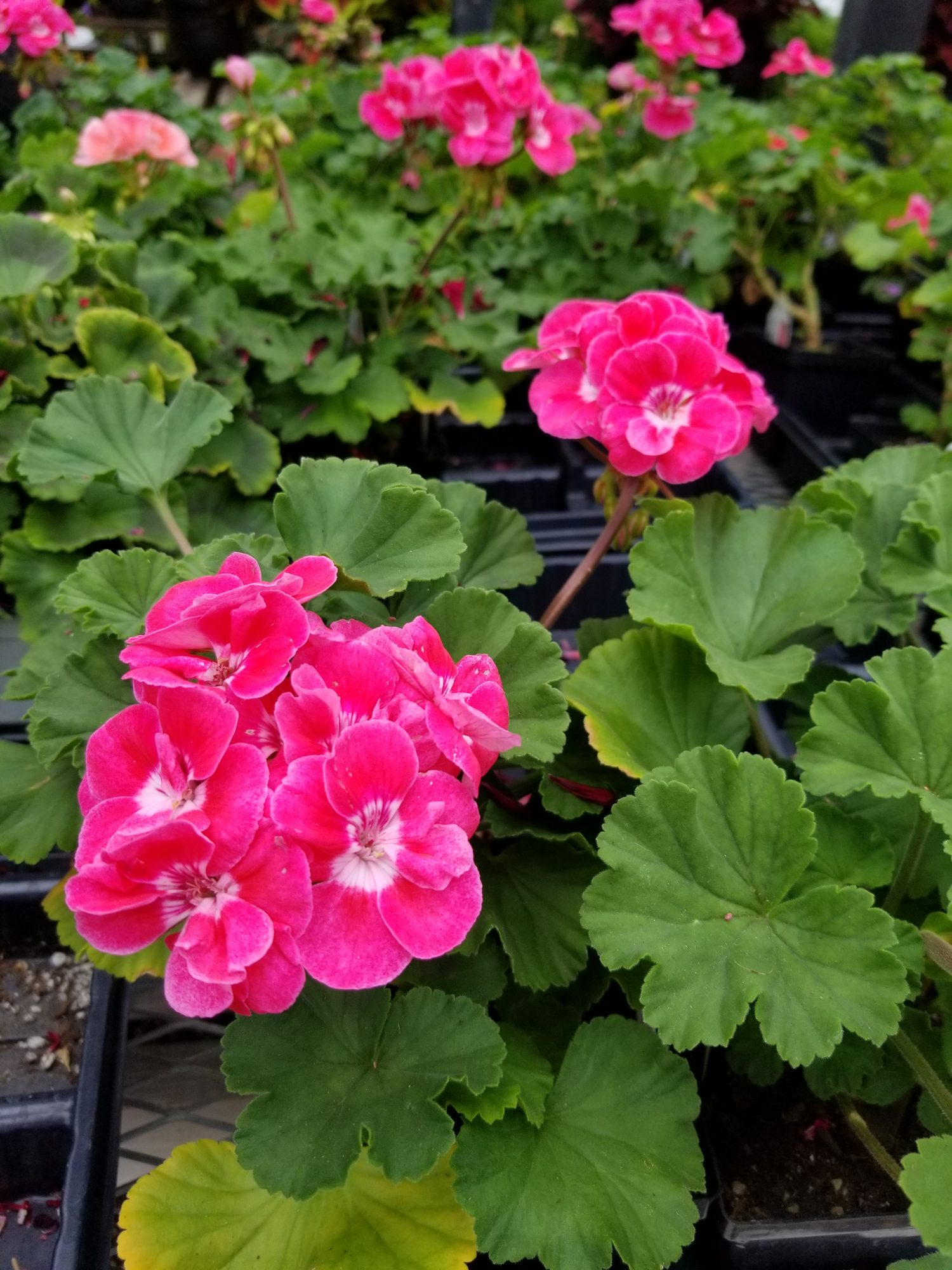 Pink Geraniums with White Eye
