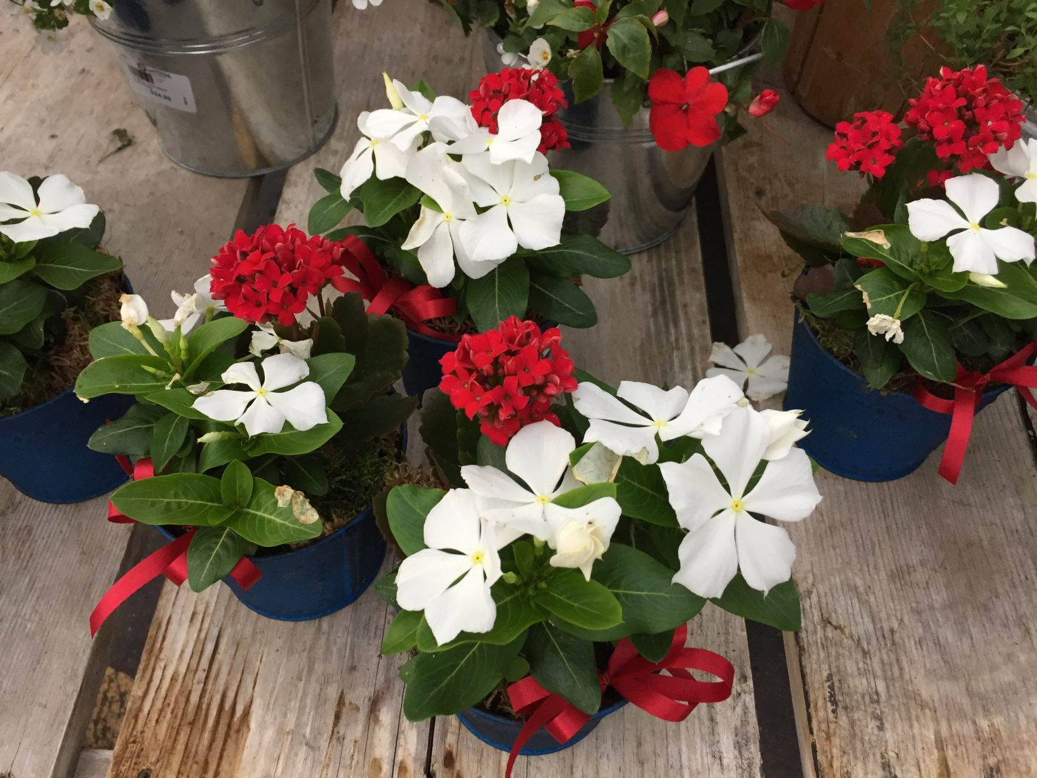 Red White Blue Patriotic Planters Vinca Kalanchoe
