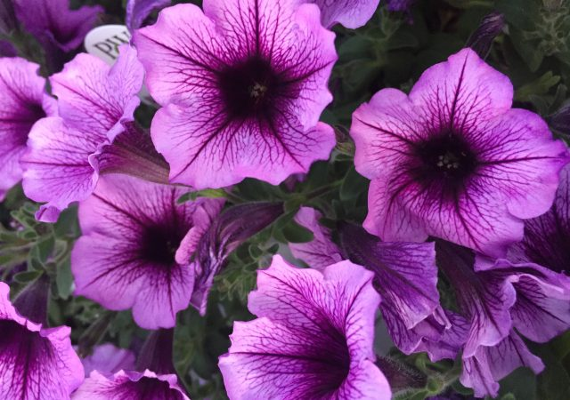 Bordeaux Petunia annual sun