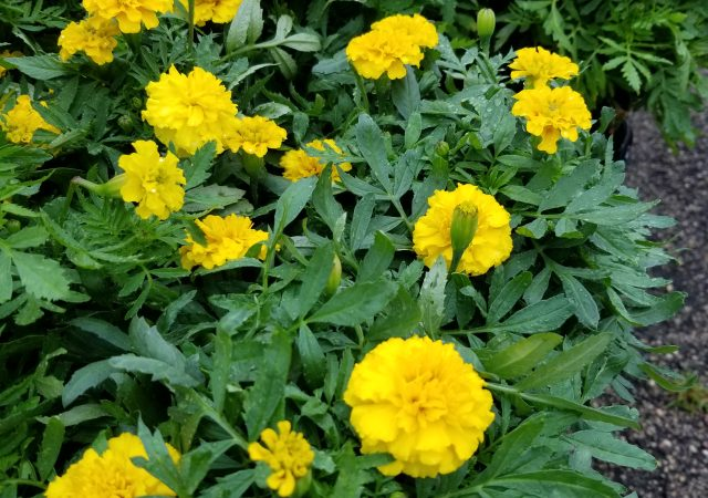 Yellow Marigolds