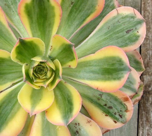 aeonium sunburst succulent