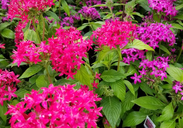 Pink and Purple Pentas
