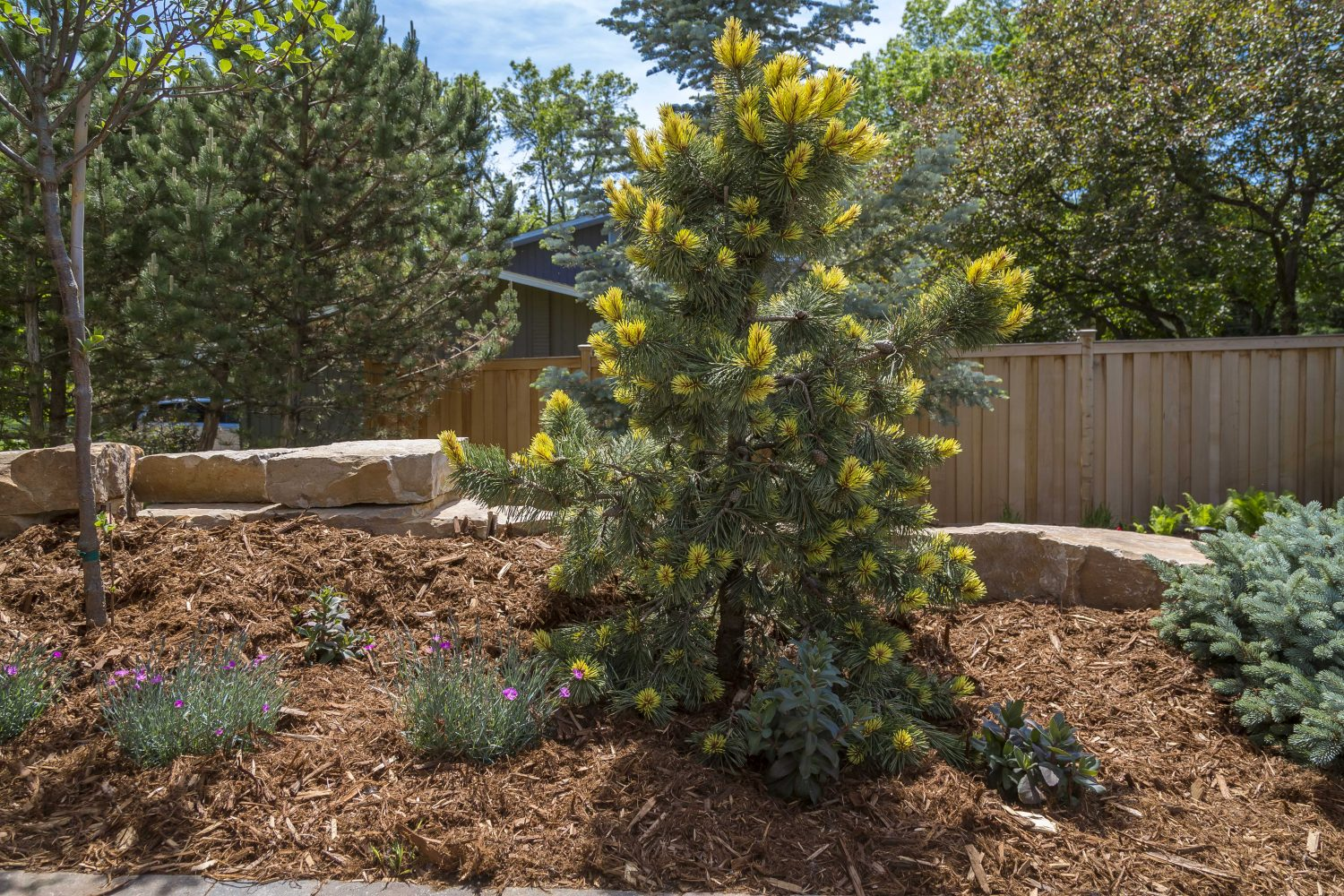 Sunburst Pine in Mulched Bed