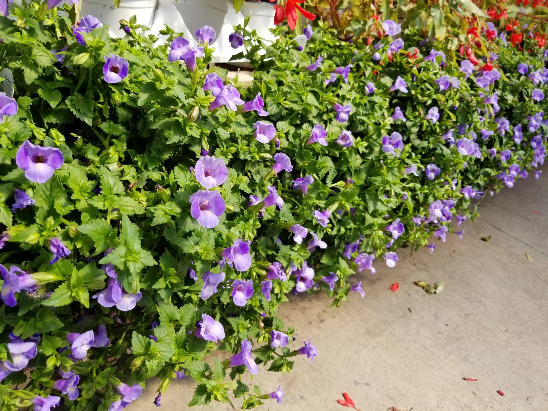 Torenia Plant