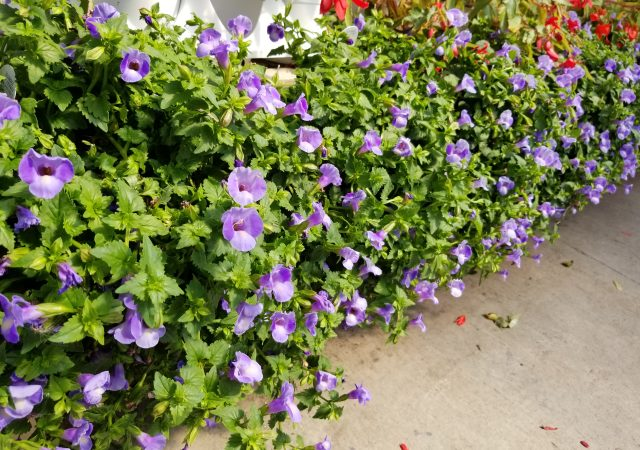 Light Purple Torenia