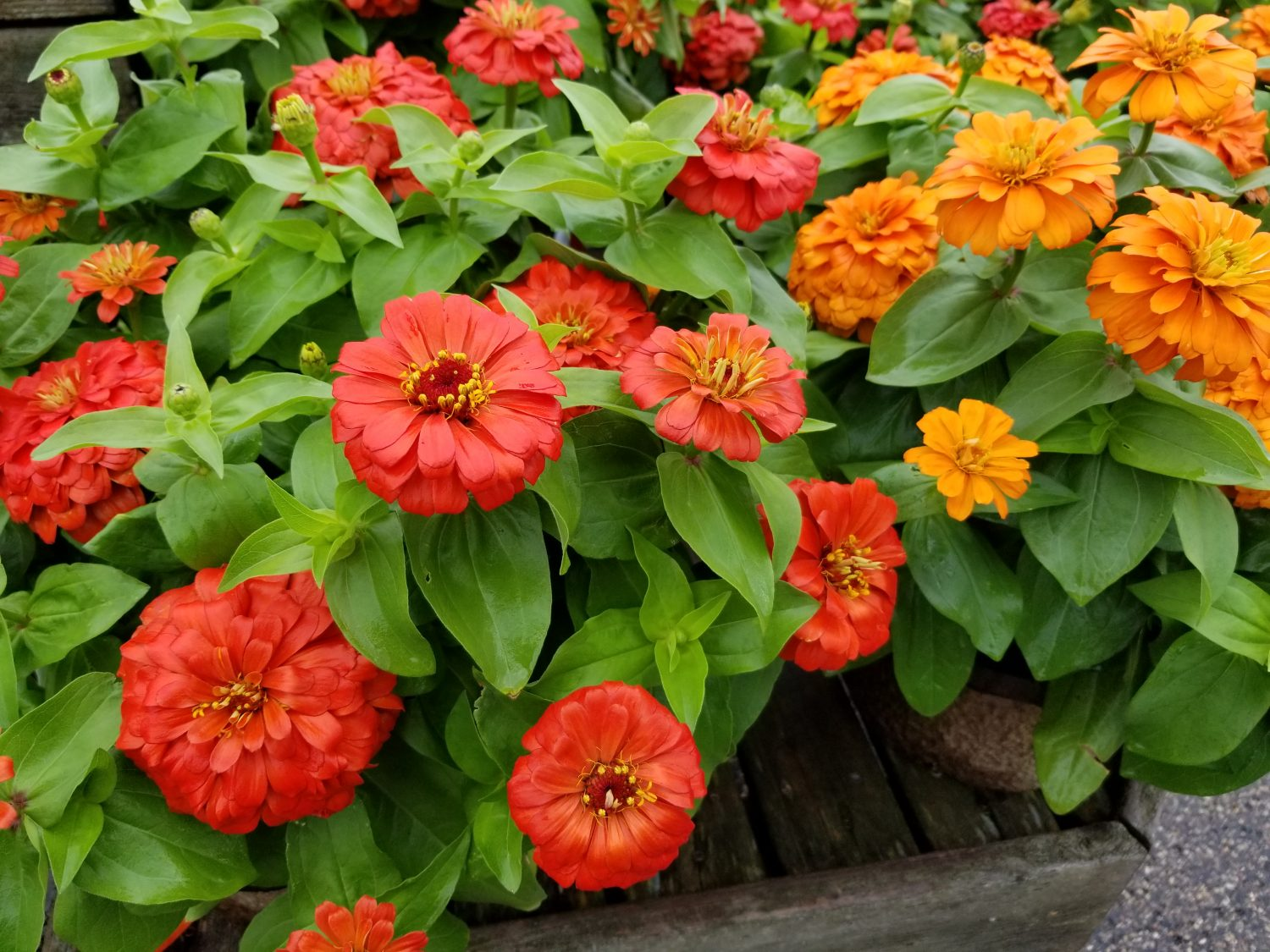 Orange and Coral Zinnias