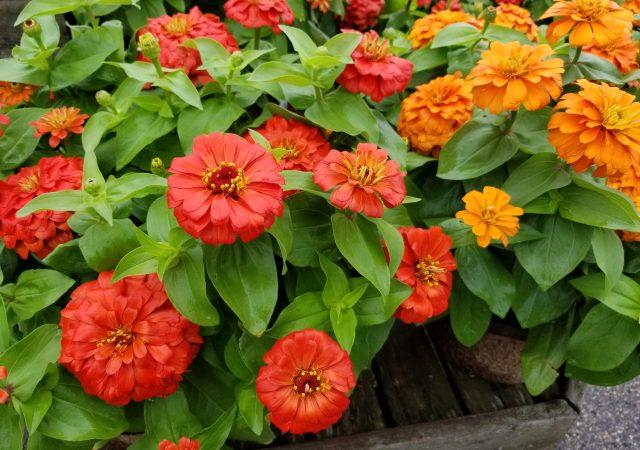 Orange and Coral Zinnias