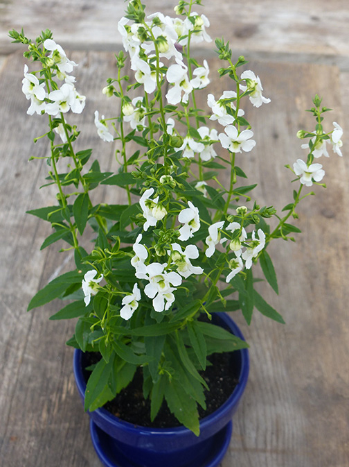 white angelonia annual sun