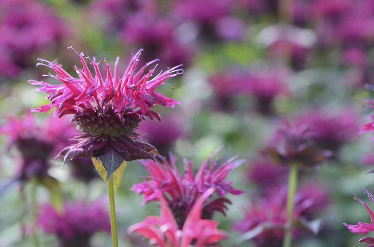 Pink Monarda (Bee Balm)