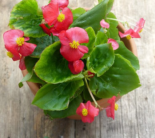 begonia shade annual