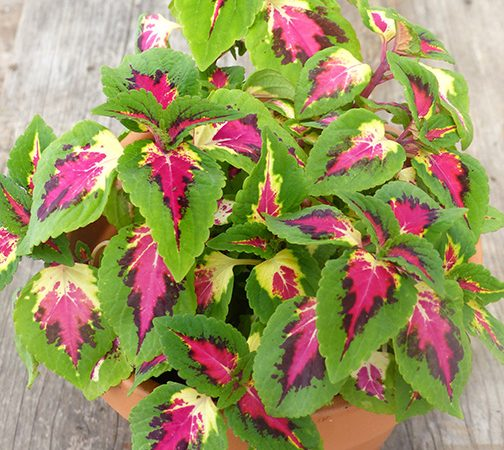 pink and green coleus annual shade