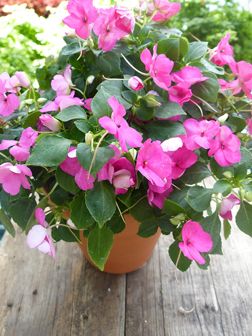 impatiens shade annual pink