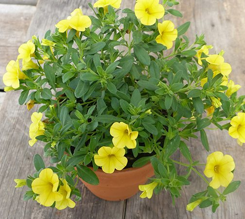 calibrachoa million bells annual yellow