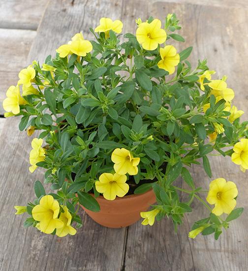 calibrachoa million bells annual yellow