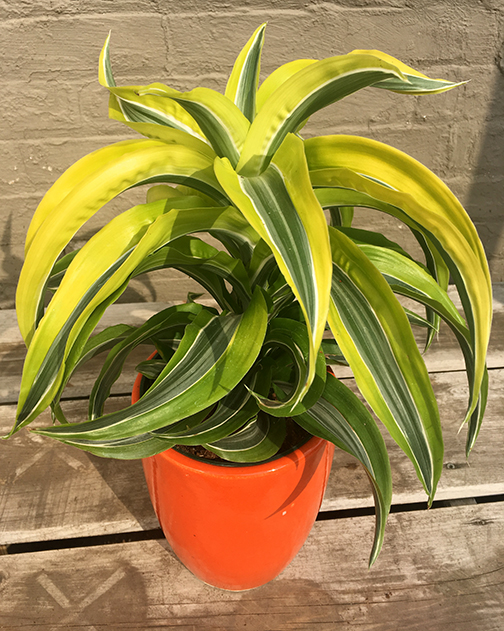 Dracaena Lemon Surprise Plants