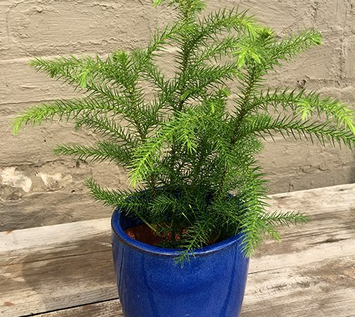 Norfolk Island Pine Plants