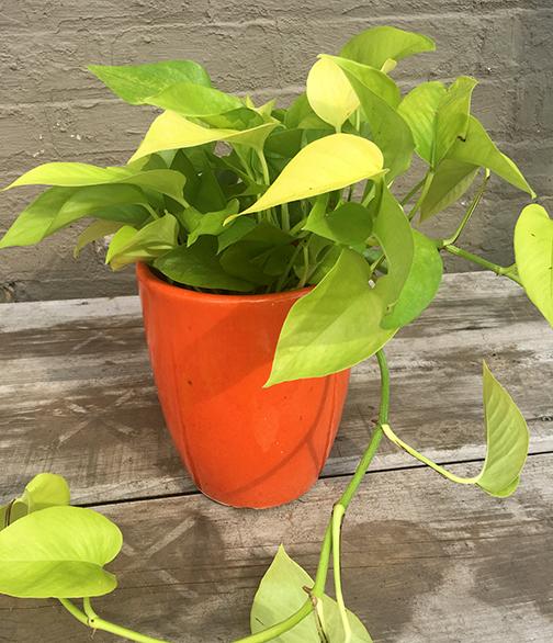 Pothos Neon Plants