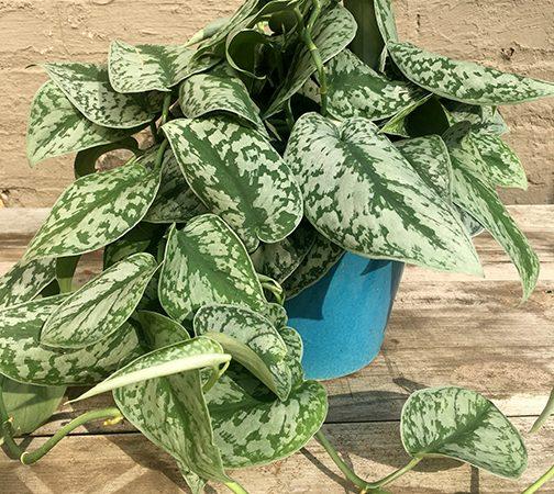 Pothos Silver Satin Plants