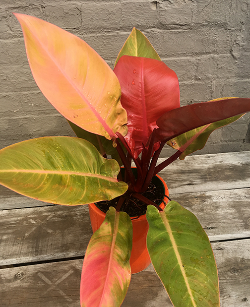 Philodendron Prince of Orange Plants