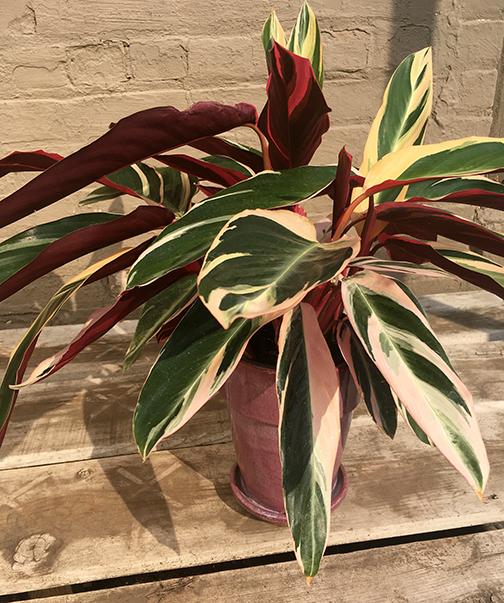 Stromanthe Triostar Plants