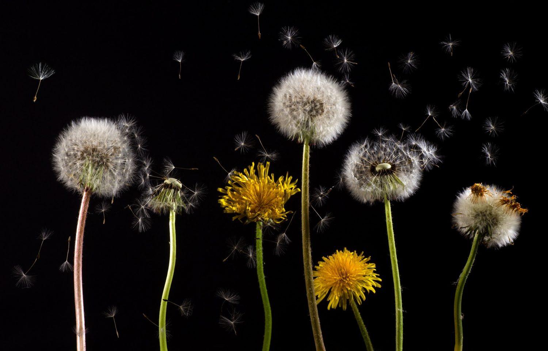 Dandelion Perennial Weed