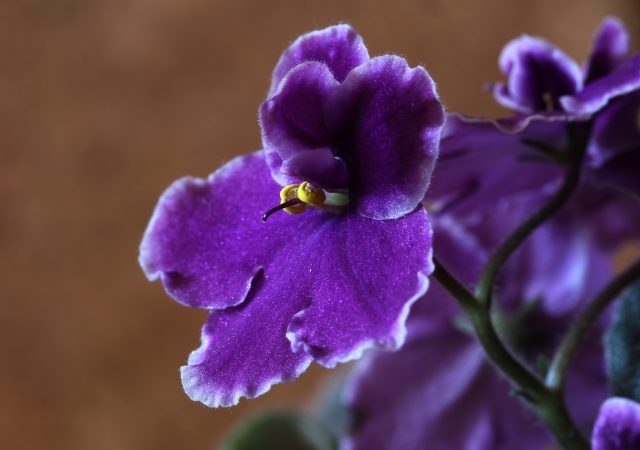 African violets pet friendly