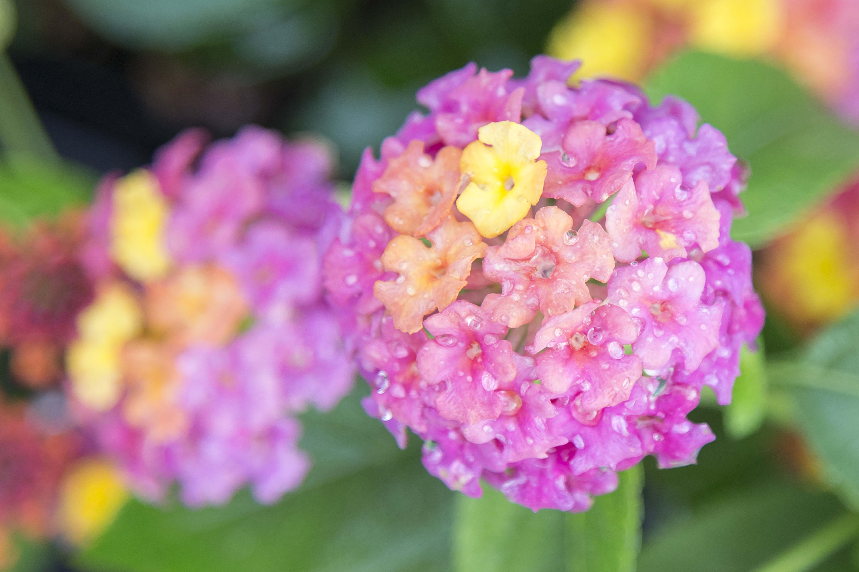 Lantana! Pollinator Plant