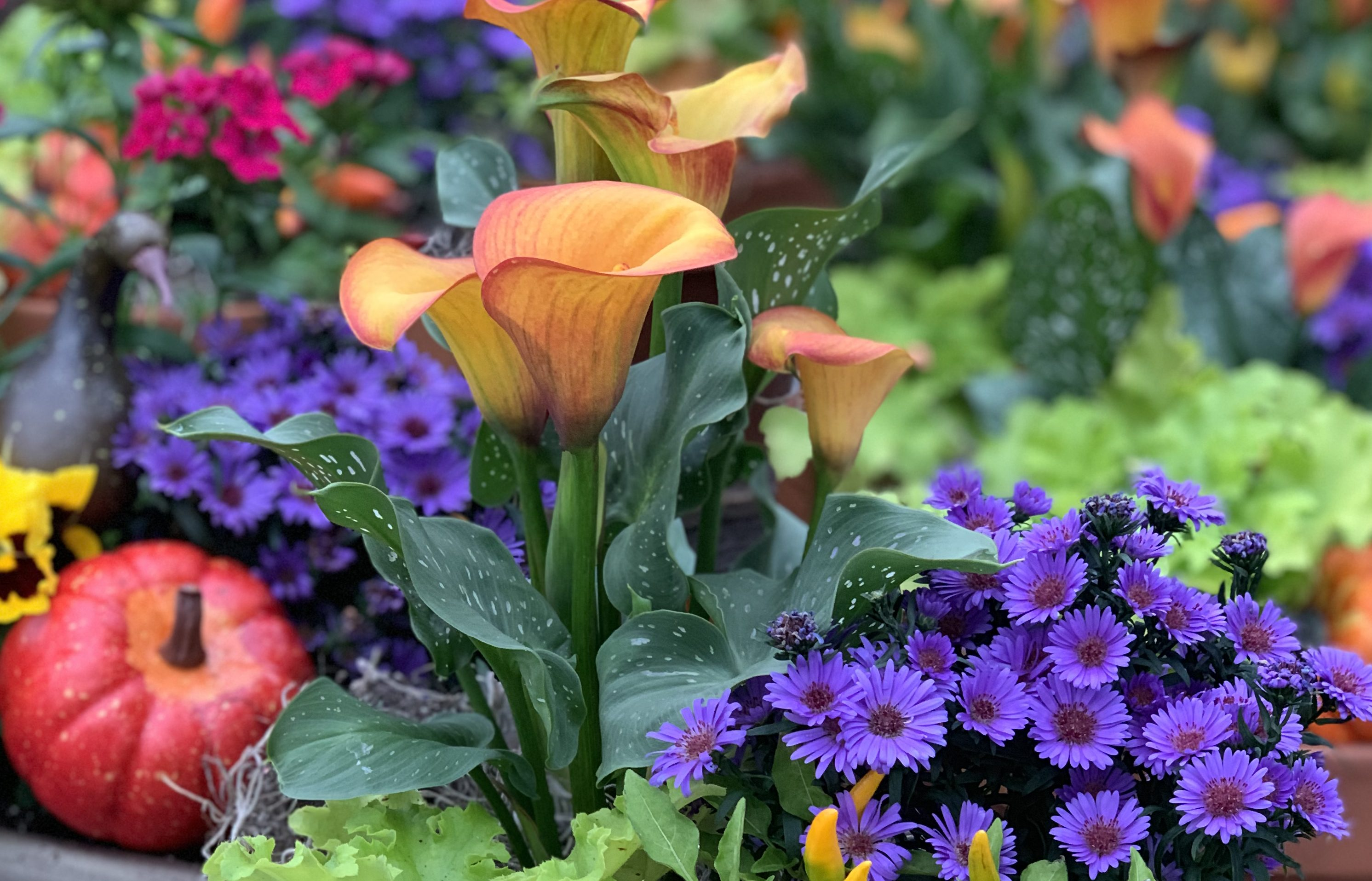 Fall Asters and Calla Lilies