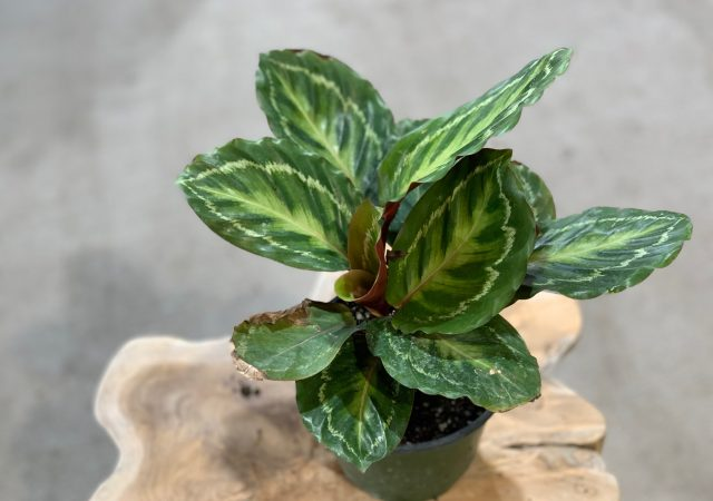 Calathea Jungle Cat 6""