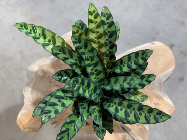 "Calathea lancifolia 6"""