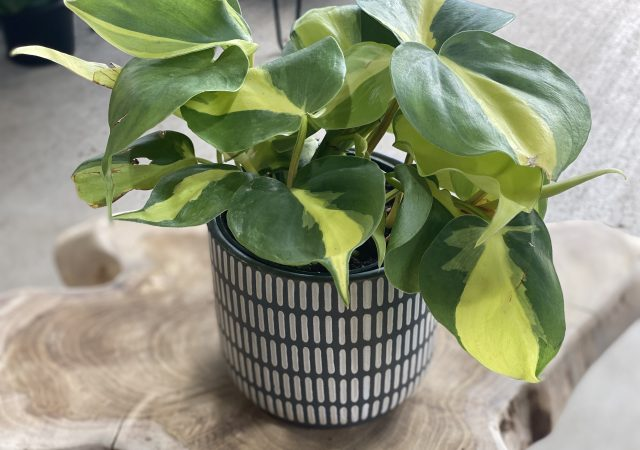 Potted Brazil Pothos