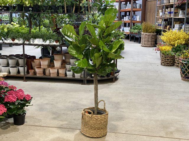 """Ficus Lyrata 10"""""""