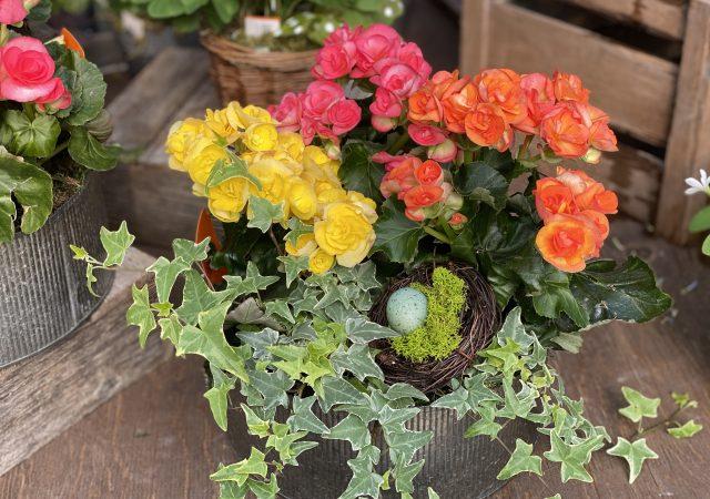 Spring Begonia Planter