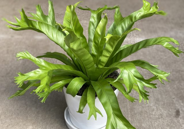 Potted Birdsnest Fern