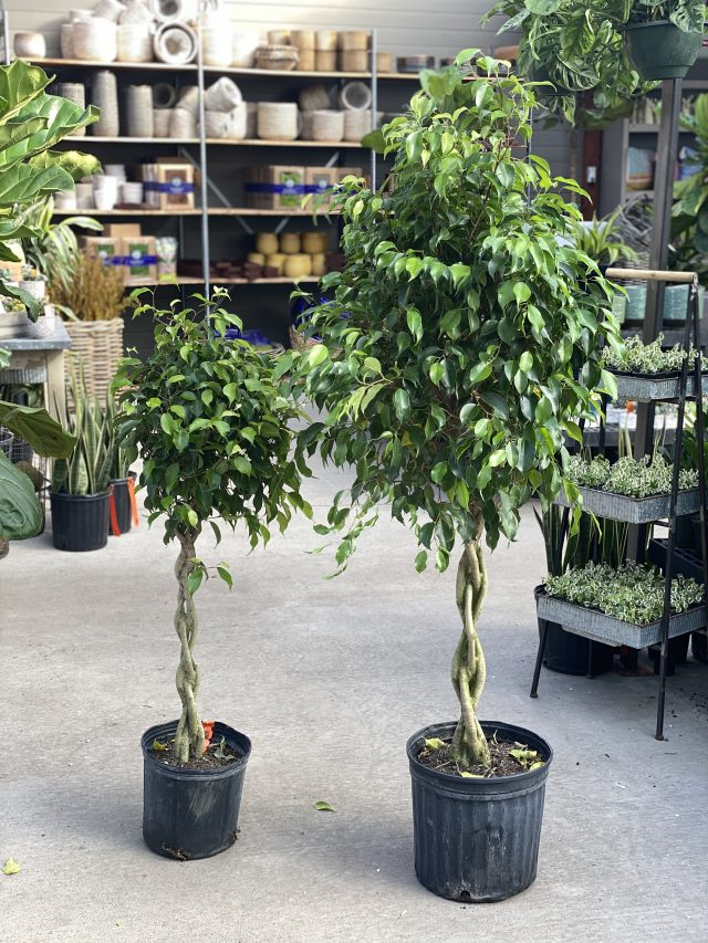 "Ficus benjamina 10"" Braid"