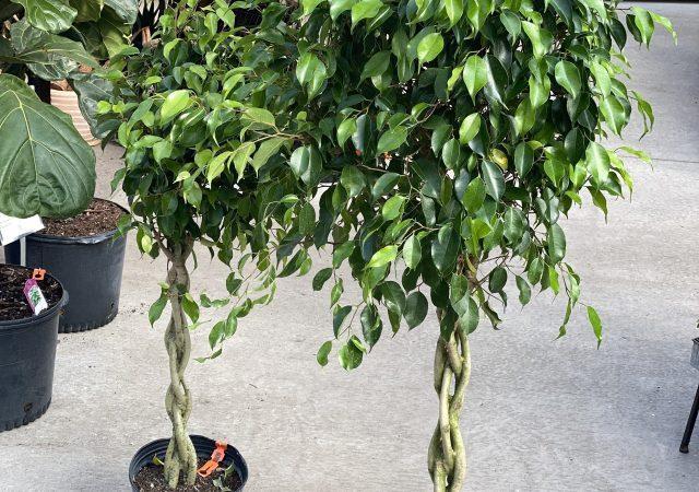 "Ficus benjamina 12"" Braid"