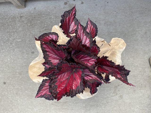 """Rex Begonia 6"""""""