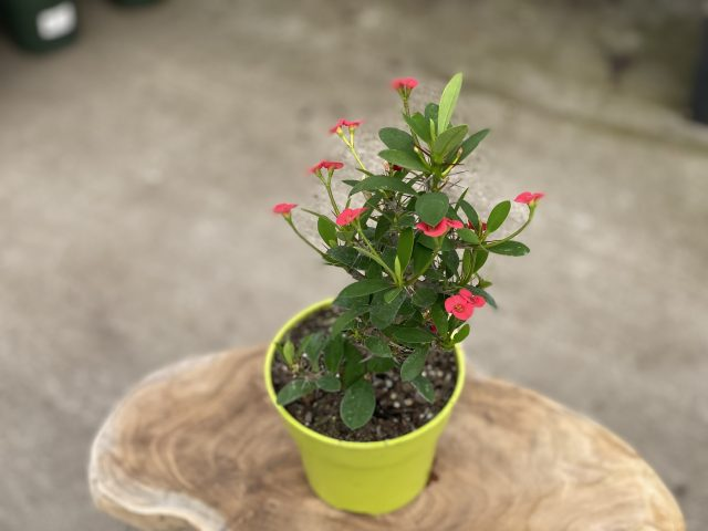 "Crown of thorns 4"" (Euphorbia)"