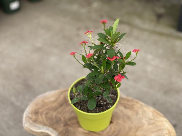 "Crown of thorns 4"" (Euphorbia)"