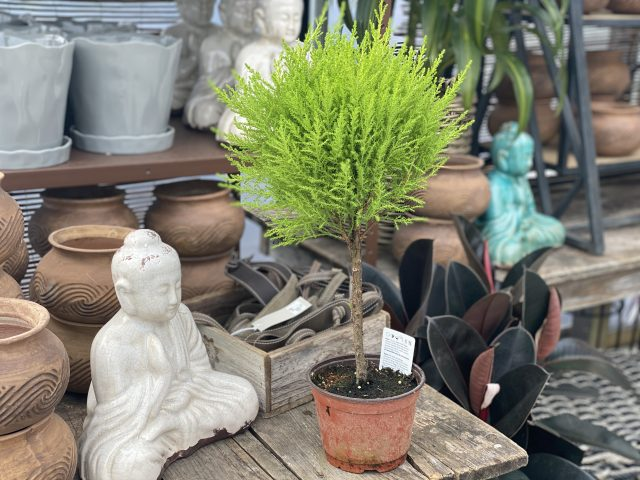 Lemon Cypress 6""