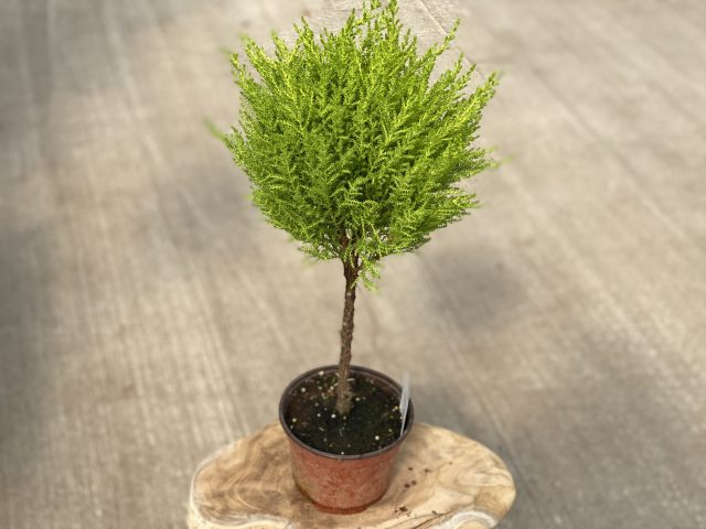 Lemon Cypress Topiary 6""